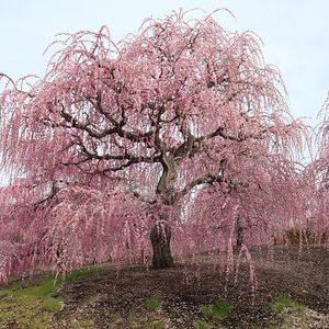 kureha-weeping-plum-blossoms